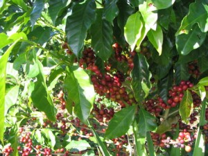 Coffee Beans Harvest