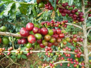 Laos coffee farm