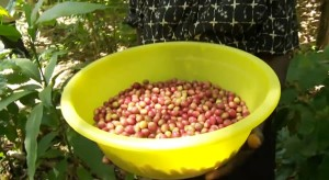Ripe Coffee Beans From Haiti