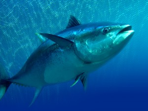Tuna and mercury risk