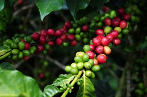 Columbian coffee output down in January