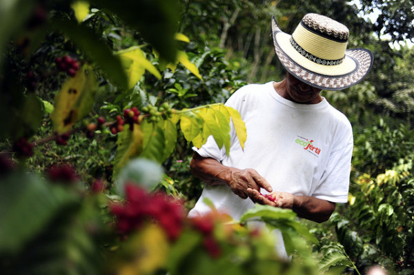 Colombian coffee farmer picking cherries