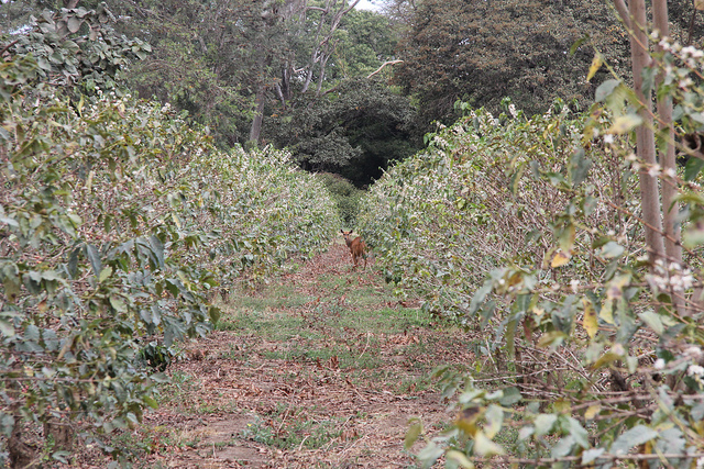a Tanzania coffee plantation farm
