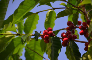 hawaii coffee companies accused of labor violations