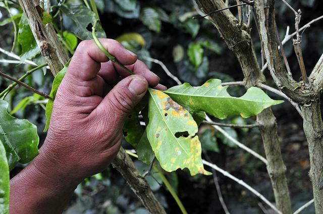 UN to hire International coffee rust crisis coordinator