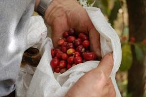 Coffee leaf rust and tax dollars