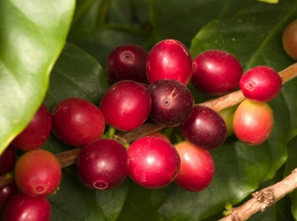 The Birds and the Bees: Biodiversity on a Costa Rican Coffee Farm