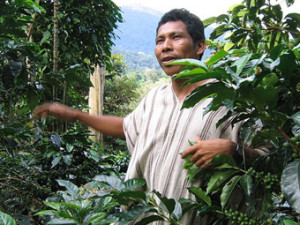 roya to decrease coffee production in Peru