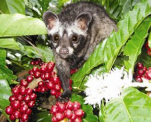 kopi luwak verification shy civet
