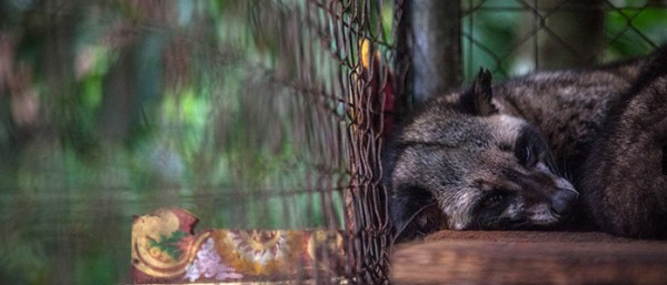 caged civet for kopi luwak