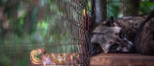 caged civet for kopi luwak