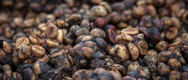 civet poop coffee