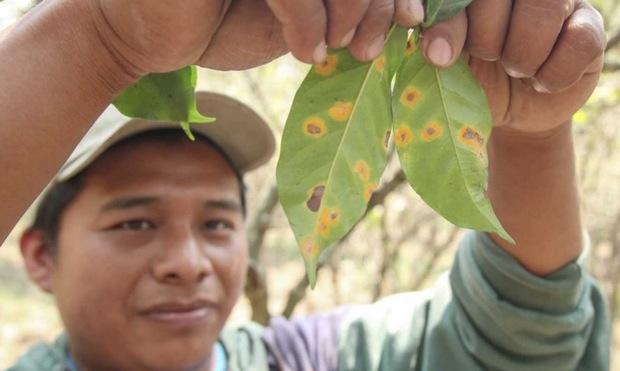 Let's Talk Roya will address leaf rust