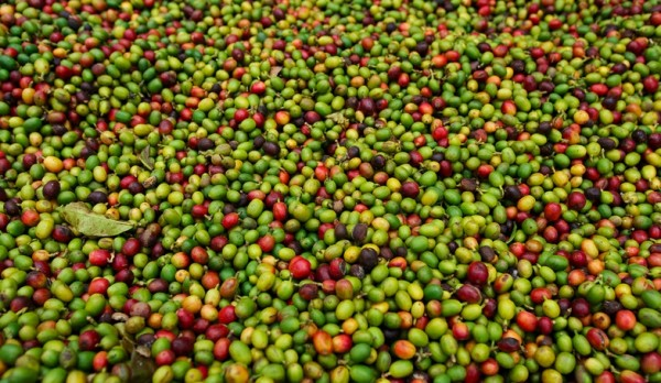 Why Consumers Buy Ethically Sourced Coffee: A New Answer