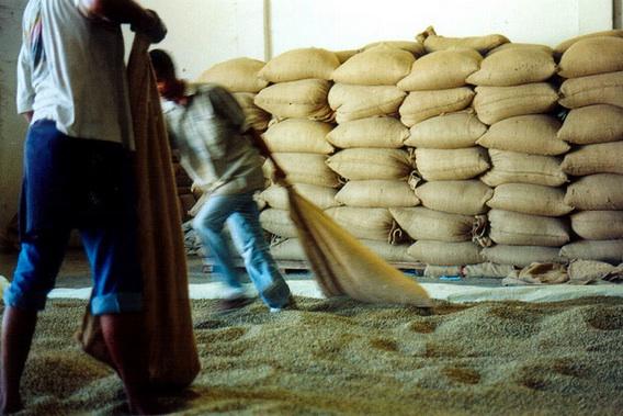 east timor coffee farmers and the hungry season