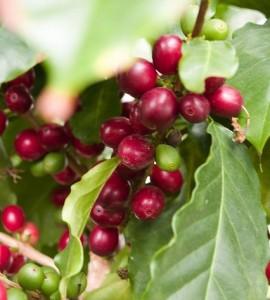 ripe coffee cherries red