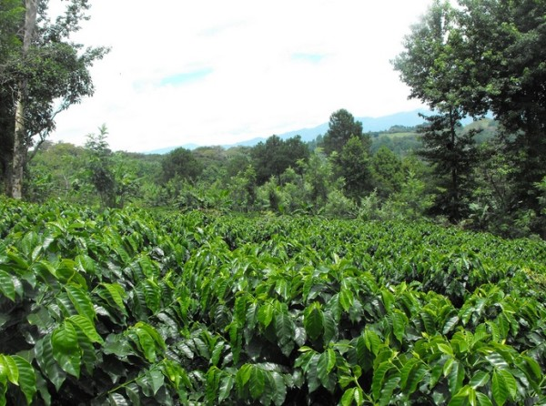 robusta coffee farm
