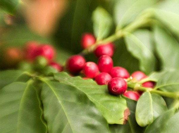 coffee tree cherries