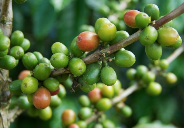 Success in Fragments: How Big Really is the Market for Fine Robusta?
