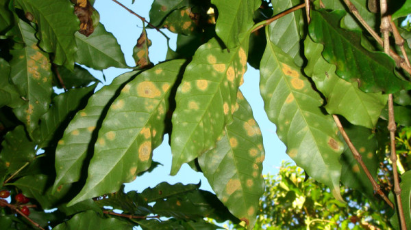 Leaf Rust Fallout: 'Negative Coping Strategies' and Food Insecurity