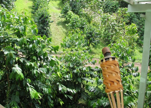 kona coffee farm Hawaii