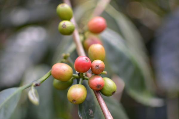 One variety of over 70 coffee cherries grown at Hacienda El Roble.