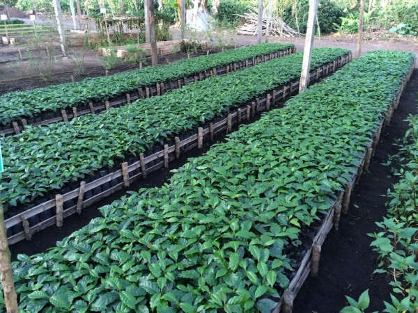 A shot from the nursery of maturing coffee plants