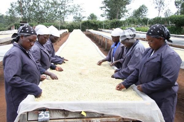 coffee farmers in Africa sort beans