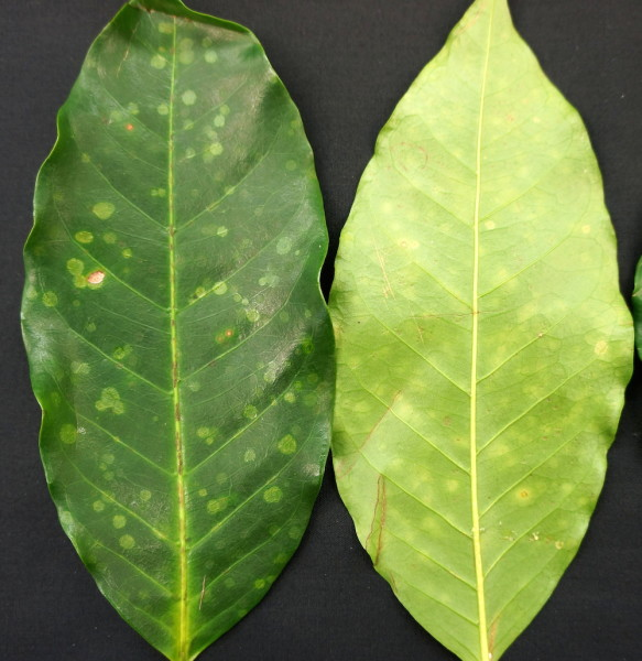 emaravirus coffee disease plants