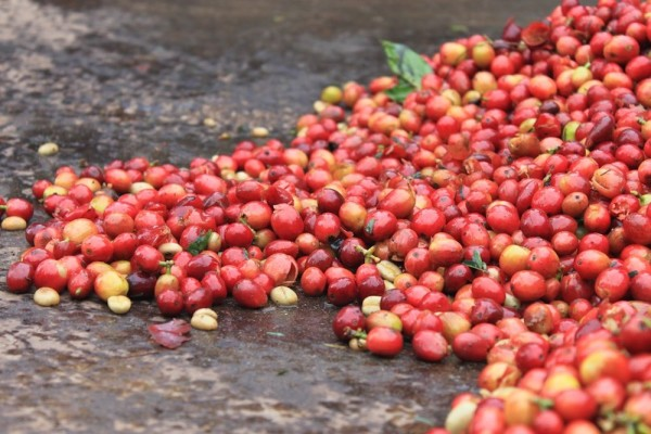 coffee cherries counter culture