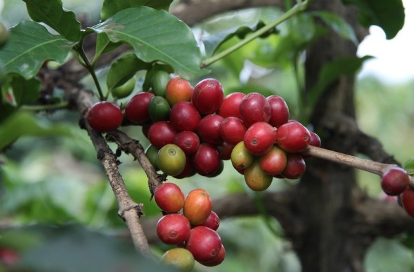coffee cherries ripe on a farm