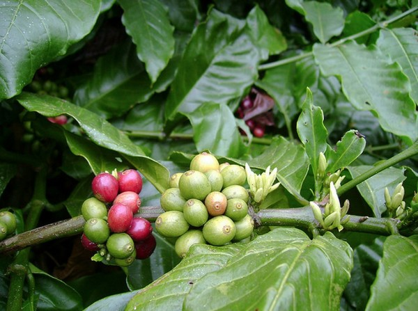 incentives for coffee farmers
