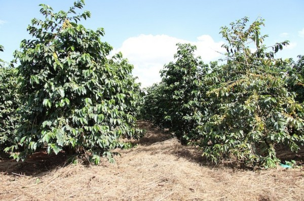 Full-sun coffee mulching. Creative Commons photo by Coffee Management.