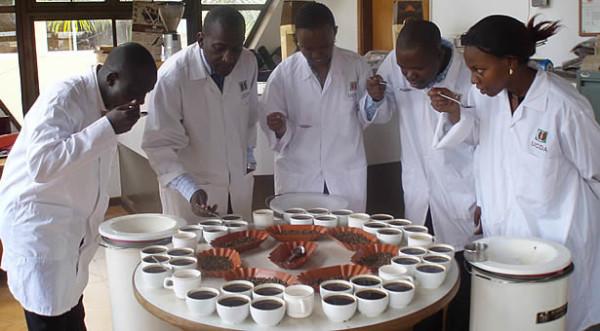 uganda fine robusta coffee