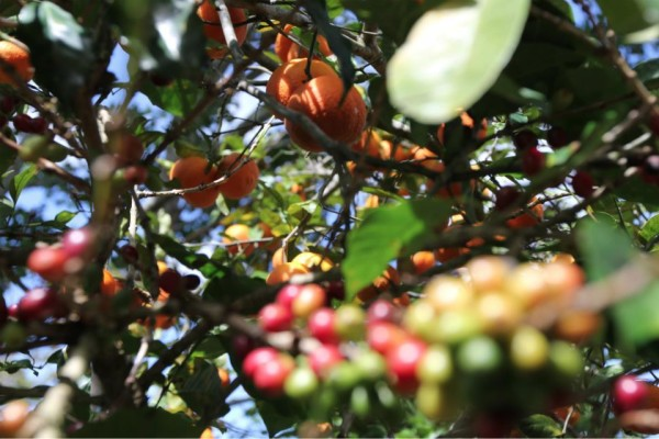 Coffee growing alongside oranges on Alexa's farm.