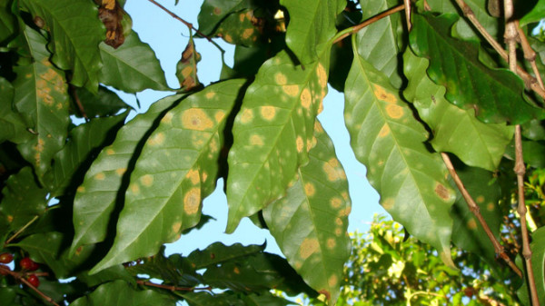 World Coffee Research to Lead Groundbreaking Alliance Against Leaf Rust