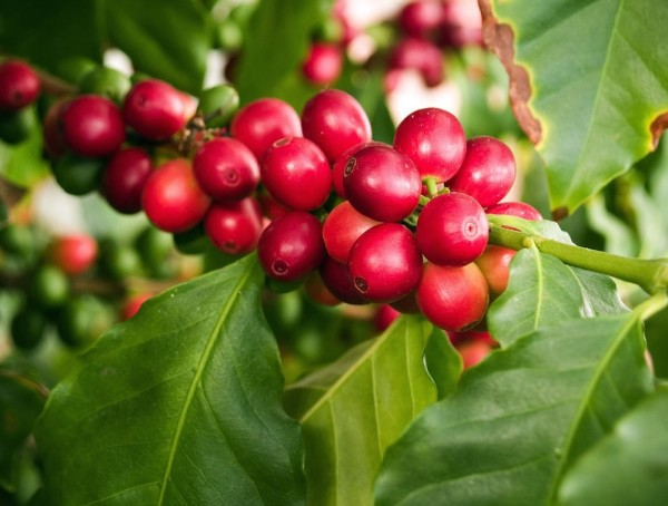 coffee cherries ripe healthy
