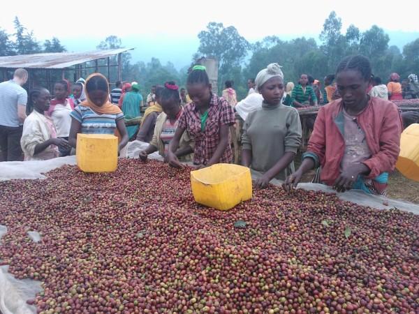 Ethiopia coffee sorting cherries