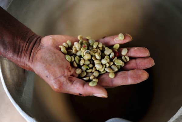 coffee farmers beans in hand