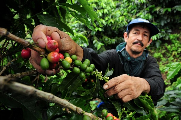 food scarcity among coffee farmers