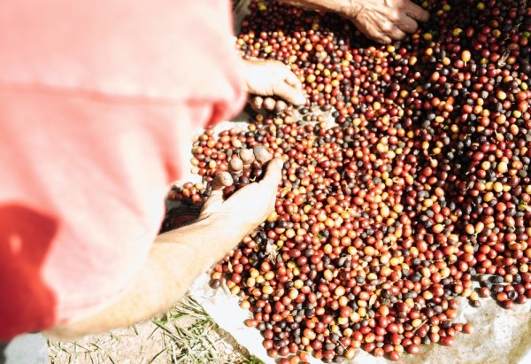 World Coffee Research Director Tim Schilling Tells Us All About the Variety Intelligence Project