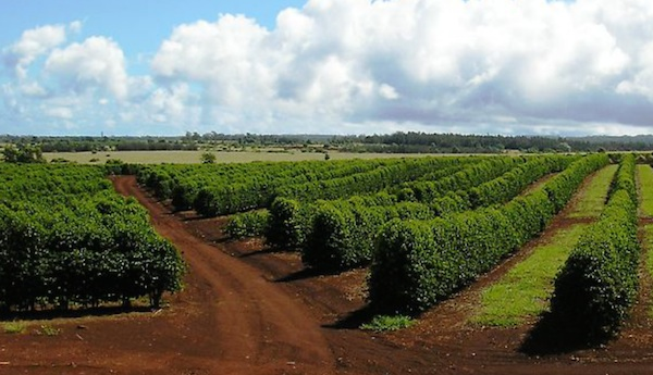 Oahu Coffee Properties Under Quarantine Restrictions for Borer Infestation