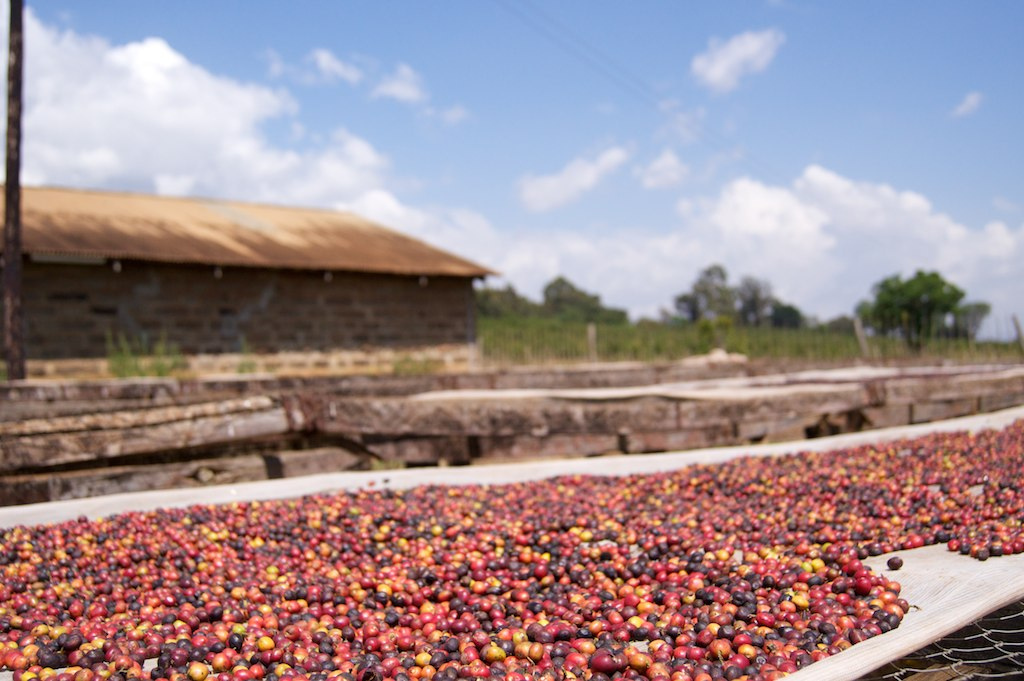 coffee drying in Kenya