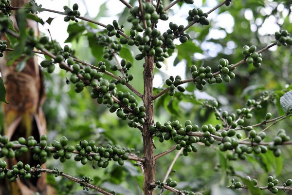 coffee plant climate change