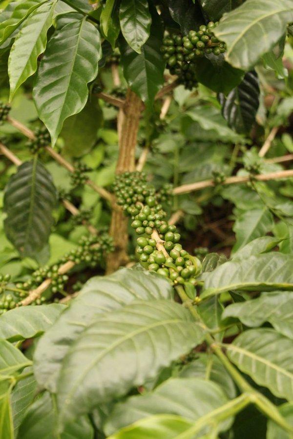 H1 coffee plant
