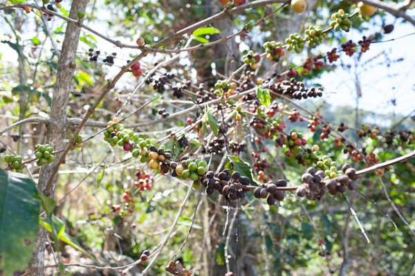 A coffee farm decimated by leaf rust. Photo by Dennis Tang. Creative Commons standard license.