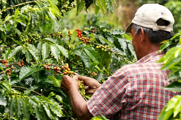 Coffee_farmer_-_triangulo_del_café