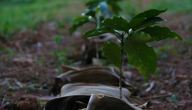 Seedlings. Photo courtesy of FAF Coffees.