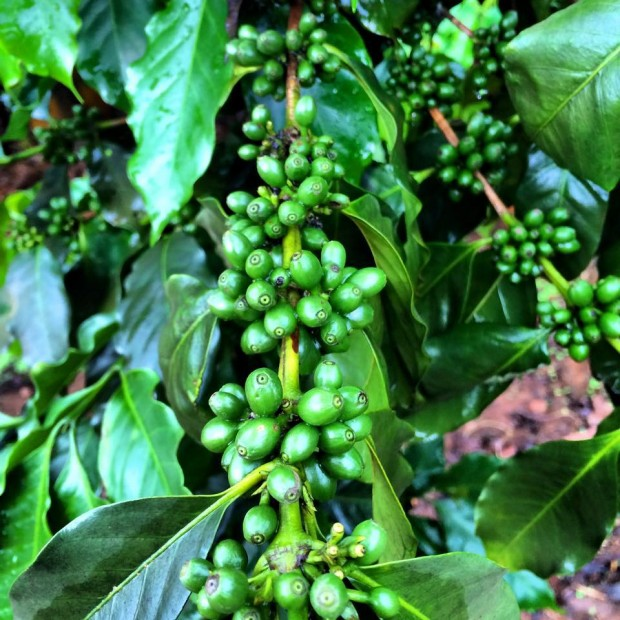 World Bank Invests Large in Sustainable Coffee Development in Vietnam