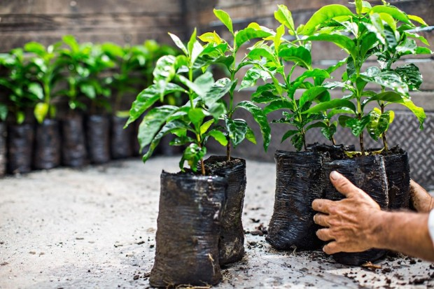 Starbucks to Donate One Coffee Tree for Every Bag Sold for a Year